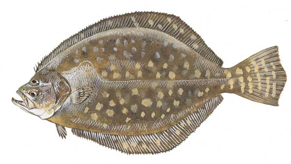 A New Process to Assess the Population Status of Southern Flounder